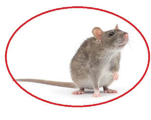 Best Mice & Rats Extermination services in Brampton